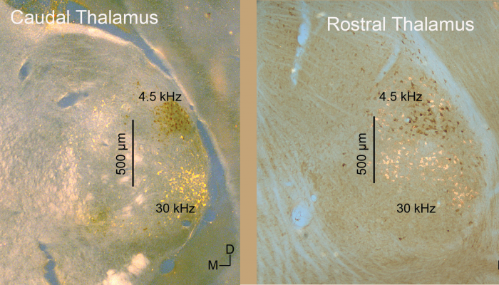 Tonotopic thalamocortical projection neurons segregated in caudal but not rostral thalamus.